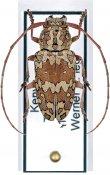Chariesthoides bicornuta ♀, Tragocephalini, Kenya