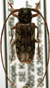 Chariesthes somaliensis, ♀, Tragocephalini, Ethiopia