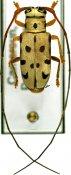 Graciella epipleuralis ♀, Tragocephalini, Cameroon