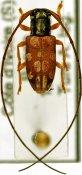 Graciella pulchella, ♀, Tragocephalini, Ivory Coast