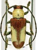Murosternum latefasciatum, ♂, Tragocephalini, Ivory Coast