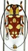 Murosternum pulchellum pulchellum, ♀, Tragocephalini, Ivory Coast