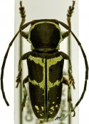 Nyctopais mysteriosus, Tragocephalini, Cameroon