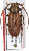 Ontochariesthes erongoensis, paratype ♂, Tragocephalini, Namibia