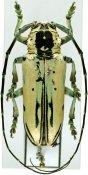 Paraphosphorus hololeucus, ♂, Tragocephalini, Kenya
