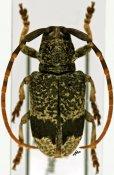 Paratragon lugens, ♂, Petrognathini, R. D. Congo