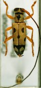 Pseudochariesthes nobilis, ♂, Tragocephalini, Cameroon