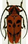 Tragostoma imperator, Tragocephalini, R. D. Congo