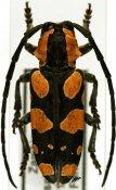 Tragocephala mixta, ♂, Tragocephalini, Zambia