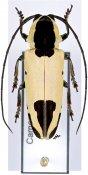 Tragocephala mniszechii, ♀, Tragocephalini, Cameroon