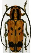 Tragocephala variegata ♀, Tragocephalini, Zambia
