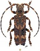 Cymatura spumans, ♂, Xylorhizini, Zimbabwe