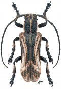 Cyrtogrammus laosicus, ♂, Xylorhizini, Laos