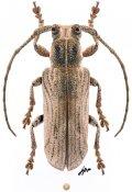 Cyrtogrammus thylactoides, ♀, Xylorhizini, Borneo