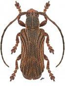 Cyrtogrammus yamasakoi, paratype ♀, Xylorhizini, Borneo