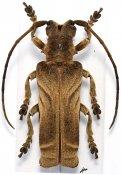 Thylactus insignis, ♀, Xylorhizini, Sierra Leone