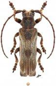 Thylactus zuberhoferi, ♂, Xylorhizini, Central Africa R.