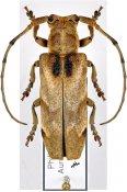 Aetholopus lumawigi ♀, Xylorhizini, Luzon