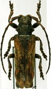 Thylactus zuberhoferi, ♂, Xylorhizini, Ivory Coast