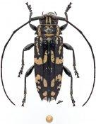 Falsotmesisternus zygoceroides, ♀, Zygocerini, Guadalcanal