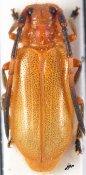 Bacchisa subannulicornis, ♀, Astathini, Thailand