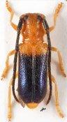 Bacchisa subbasalis, ♂, Astathini, Assam