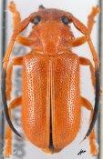 Hecphora testator, ♂, Astathini, Ivory Coast