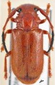 Hecphora testator, ♀, Astathini, Ivory Coast
