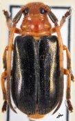 Tetraophthalmus janthinipennis janthinipennis, ♂, Astathini, Vietnam