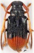 Tetraophthalmus terminatus, ♂, Astathini, Malayan Peninsula