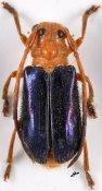 Tetraophthalmus violaceipennis, ♂, Astathini, Nepal