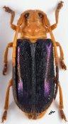 Tetraophthalmus violaceipennis, ♀, Astathini, Nepal