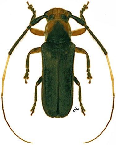 Sybaguasu thoracicum