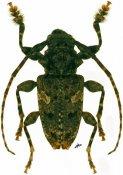 Aegomorphus circumflexus, ♂, Acanthoderini, Cuba