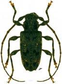 Psapharochrus pigmentatus, ♂, Acanthoderini, French Guiana