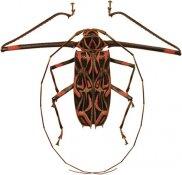 Acrocinus longimanus, ♂, Acrocinini, French Guiana