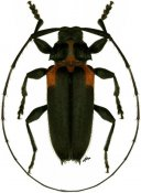 Alcidion humeralis, ♂, Acanthocinini, Paraguay
