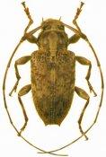 Alcidion umbraticum, ♀, Acanthocinini, Hispaniola
