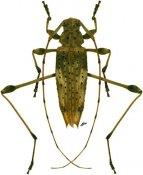 Anisopodus ♂, Acanthocinini, Bolivia