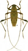 Anisopodus phalangodes, ♂, Acanthocinini, French Guiana