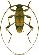 Anisopodus sparsus ♂, Acanthocinini, French Guiana