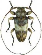 Anoreina nana ♀, Acanthoderini, French Guiana