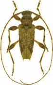 Lithargyrus guadeloupensis, ♂, Acanthocinini, Guadeloupe