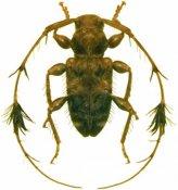 Cosmotoma adjuncta, ♂, Acanthocinini, French Guiana