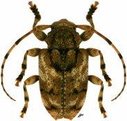 Eupromerella sp., ♀, Acanthoderini, Paraguay
