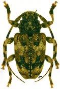 Eupromerella clavator, ♀, Acanthoderini, French Guiana