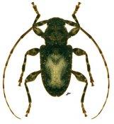 Exalphus aurivillii, ♀, Acanthoderini, French Guiana