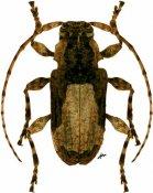 Exalphus gounellei, ♀, Acanthoderini, Paraguay