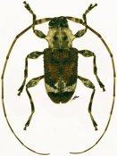 Exalphus malleri, ♀, Acanthoderini, French Guiana