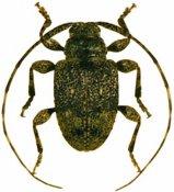 Leptostylus ovalis ♂, Acanthocinini, French Guiana